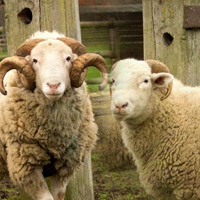 myqurbani-lamb